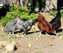 jeffco gardener caring for backyard chickens by elizabeth buckingham