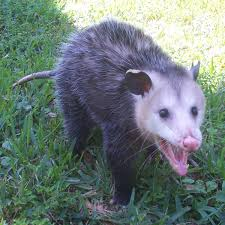 cute baby opossum photos possum photographs pictures u0026 oppossum