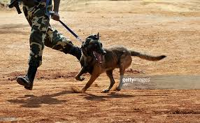 training a belgian sheepdog a belgian shepherd dog malinois equipp pictures getty images
