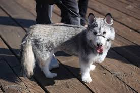 australian shepherd x husky these 25 cute cross breed dogs will make you fall in love with