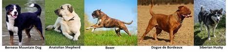 australian shepherd vs husky the boxer dog vs other breeds