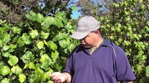 what are native plants new zealand native plant kawakawa youtube
