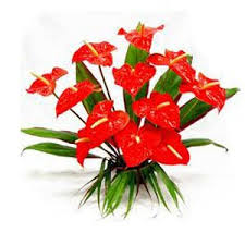 anthurium flower send flower to india anthurium flowers to india deliver flowers