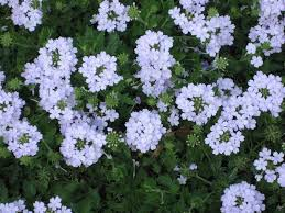 verbena flower verbena verbena on plantplaces
