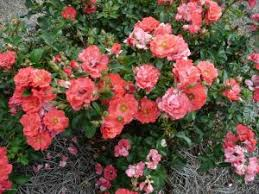 drift roses which is better for your garden knockout roses or drift roses