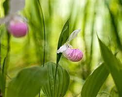 slipper flower minnesota state flower pink white slipper