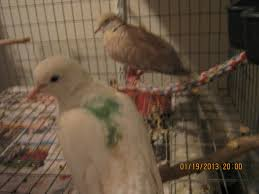 doves for sale or trade backyard chickens