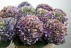 purple hydrangea colors of hydrangeas flirty fleurs the florist