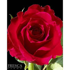hot pink roses growers choice hot pink roses 100 stems florasourcedirect