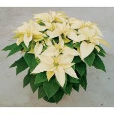 traditional white poinsettia