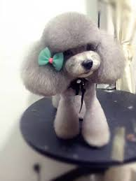 haircutsfordogs poodlemix best 25 dog haircuts ideas on pinterest yorkie cuts yorkie
