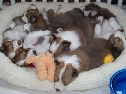 sheltie nation sheltie puppies sheltie nation