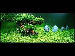 Amano Aquascaping Best 25 Nature Aquarium Ideas On Pinterest Aqua Aquarium