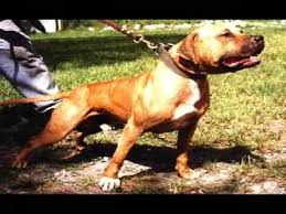 american pitbull terrier kennels usa the real american pit bull terrier video youtube