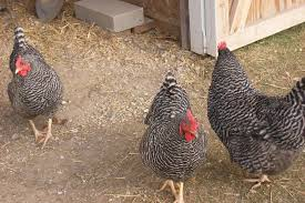 what is the breed standard of the barred plymouth rock backyard