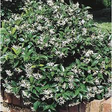 shop 2 84 quart white confederate star jasmine flowering shrub