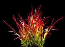 imperata cylindrica baron ornamental grasses