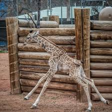 dobby the giraffe doing better at denver zoo wkyc com