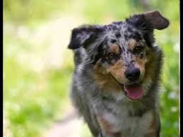 australian shepherd english bulldog mix australian shepherd facts facts about australian shepherds youtube