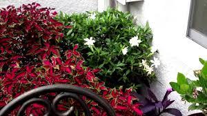 Highly Fragrant Plants Fragrant Plants Gardenia Youtube
