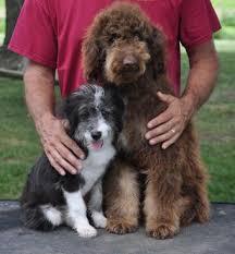 australian shepherd and poodle aussiedoodle breeders at pecan place poodles u0026 poos