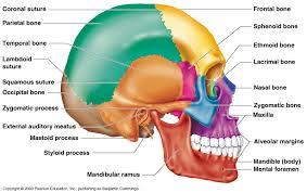 Base Of The Skull Anatomy Skull Diagrams These Bones Of Mine