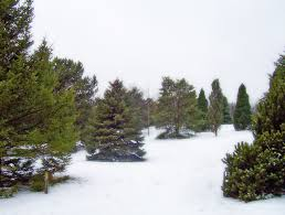 evergreen trees in snow free stock photo public domain pictures