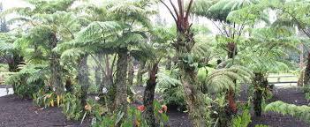 hawaiian tree fern tree fern hapu u pulu tree