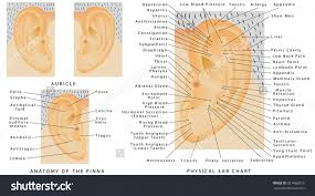 Basic Anatomy Of The Ear Ear Auricle Anatomy Basic Anatomy Of The Ear From The Outer Ear To