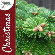 real low needle drop nordmann fir christmas tree 2ft 6ft