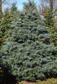when it comes to christmas trees fir is the new pine in western