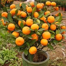 eatable fruit up to 50 on 30pcs edible fruit mandarin bonsai tree seeds