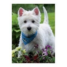 bandana westie greetings card west highland terrier