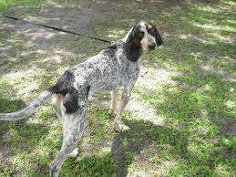 bluetick coonhound drool spanky the bluetick hound u0027s web page