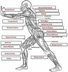 Quiz Anatomy Anatomy And Physiology Guide Musculoskeletal Anatomy Quiz At Best