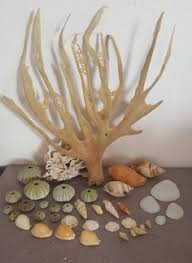 where to buy seashells buy sea shells redsea grass from jeffreys bay cleaned