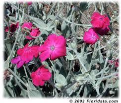 Foliage Flower - lychnis coronaria