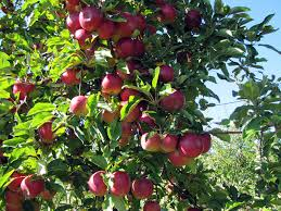 apple picking locations across the us