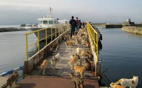 cat island the cats of japan s cat island eat well thanks to food donations