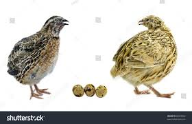 stock photo male and female of quail with eggs isolated on white