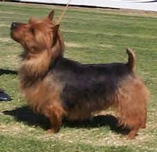 australian shepherd yorkie australian terrier haircut best wedding hairs