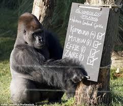 Gorilla Meme - twitter falls for escaped gorilla kumbuka as two parody accounts are