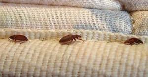 Bed Bugs On Mattress About Bed Bugs U2013 Bed Bug Exterminator In Nh Bedbug Solutions