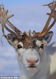 rudolph red nose scientists show reindeer u0027s shiny