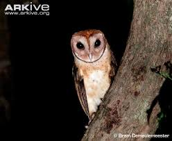 Where Does The Barn Owl Live Barn Owl Videos Photos And Facts Tyto Alba Arkive