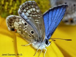 blue butterflies gardening solutions of florida