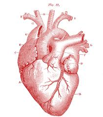 Anatomy Videos Free Download Basic Heart Anatomy And Physiology Tags Parts Of Heart Anatomy