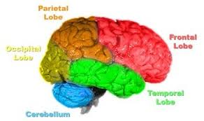 Gross Brain Anatomy Comparative Anatomy Of The Brain Psychology Wiki Fandom