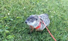 cute pet groundhog part 1 walk in the park youtube