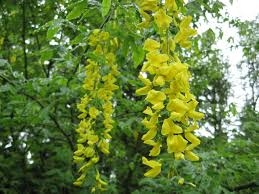 golden chain tree how to grow and care for laburnum trees